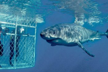 Shark Cage Diving is an exhilarating experience.